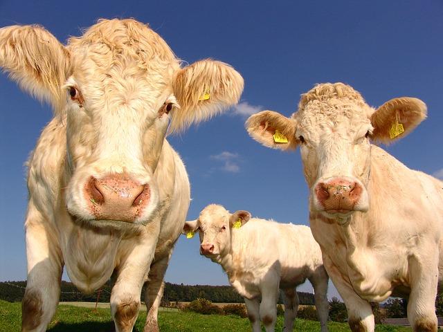 Zlo govece , dovijeka june