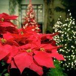 Aleksandrino je cvet bez koga ne možemo zamisliti Božic u Grčkoj