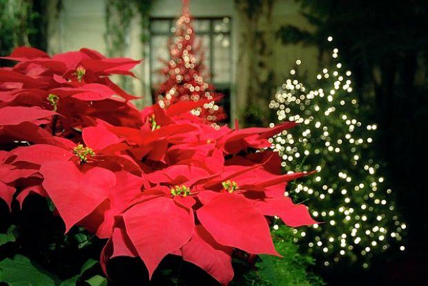 Read more about the article Aleksandrino je cvet bez koga ne možemo zamisliti Božic u Grčkoj
