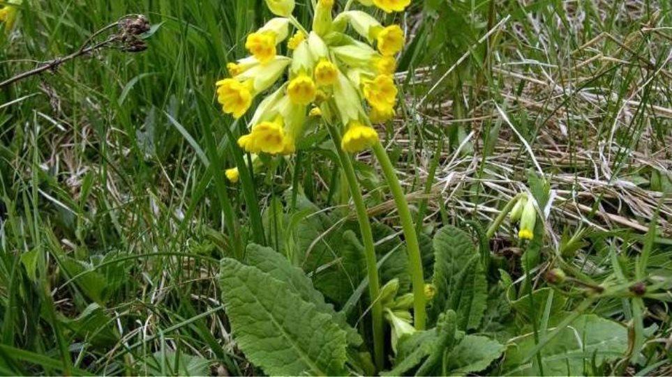 """Read more about the article Zašto Albanci kradu magičnu biljku, """"Darvinov cvet"""" u Grčkoj"""